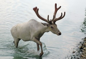 Reindeer, by Brian 0918, used under Creative Commons licence.